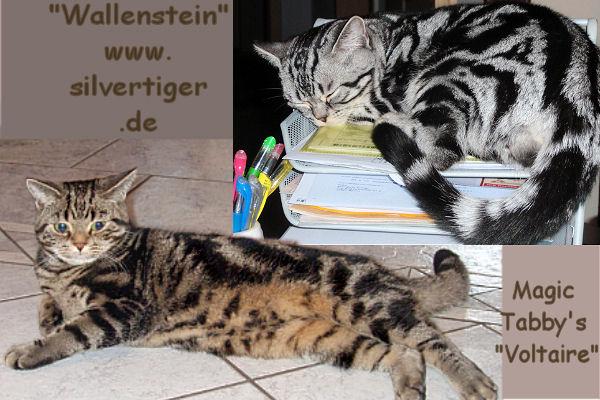 tabbys removed 7silvertiger.de