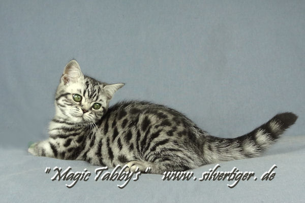 BKH-BSH-Kitten classic spotted tabby -M2-8317