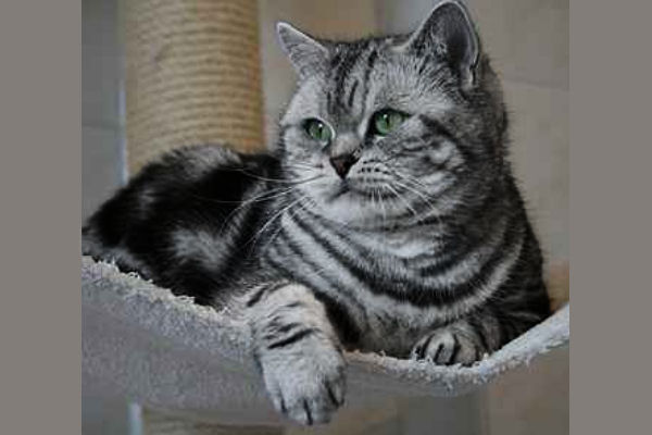 British shorthair black silver blotched