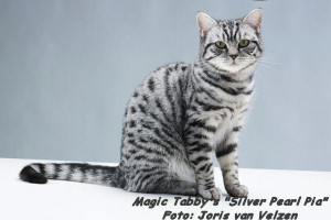 Whiskas shooting Magic Tabby's Silver Pearl Pia 15