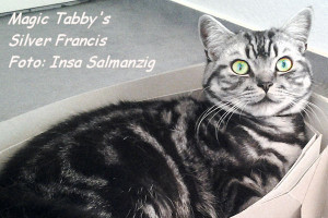 shorthair tabby cats 16 Magic Tabbys Silver Francis