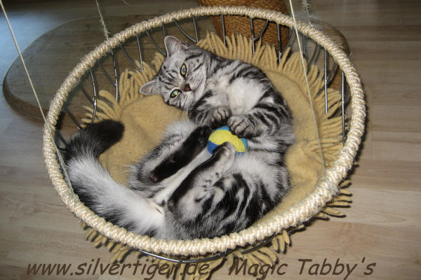 Breeding cat female Magic Tabbys Silver Xenia