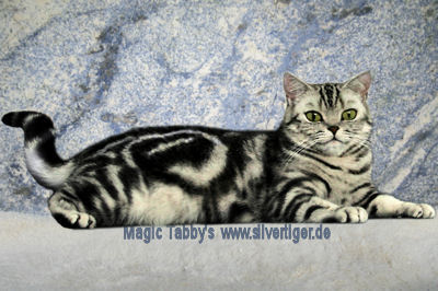 Magic-Tabbys-Silver-Cecilia