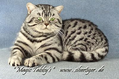 Magic-Tabbys-Silver-Harryson