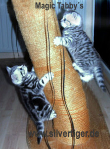 BKH-BSH-Kitten classic spotted-cat-tree
