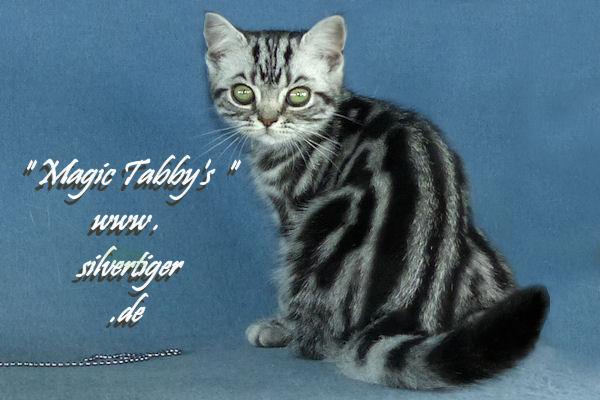 BKH-BSH-Kitten classic spotted-tabby-x-bp-132