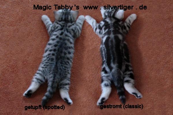 BKH-BSH-Kitten Tabbys spotted classic