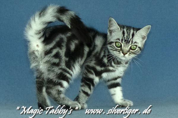 BKH-BSH-Kitten Xe-Bp0083